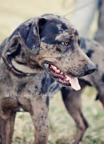 Blue leopard catahoula barbar connan langdal owner of the picture