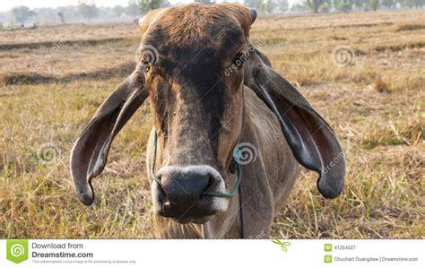 american cattle american brahman cow cattle closeup stock photo image 41254507