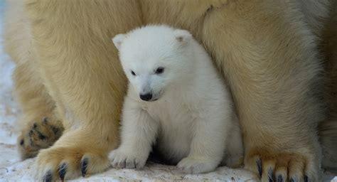 imagenes animales polares el primer paseo de una cr 237 a de oso polar en yakutia v 237 deo
