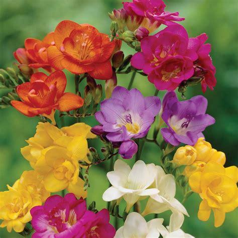 multi colored freesia flowers arrangements pinterest
