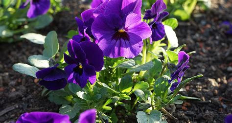 new jersey state flower wood violet home pinterest illinois state flower the violet proflowers blog