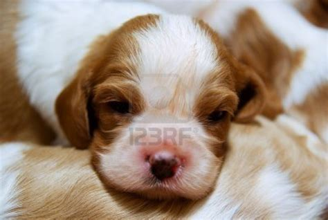 king charles puppy puppy dogs king charles spaniel puppies