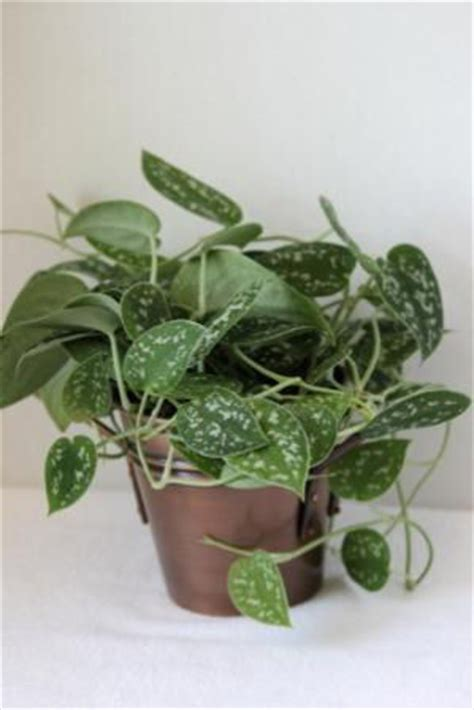climbing house plants identification pictures of philodendron silver houseplant images