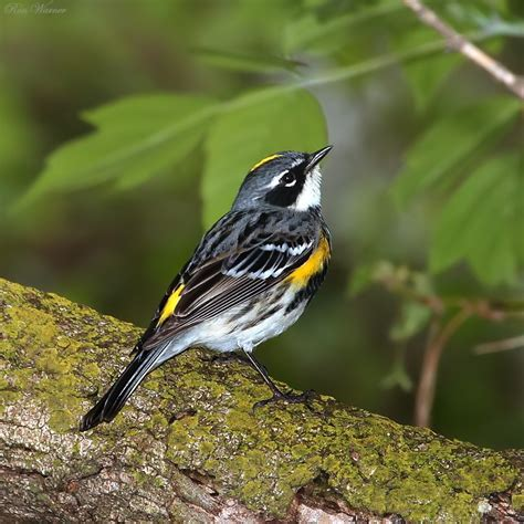 treknature quot myrtle quot yellow rumped warbler male photo