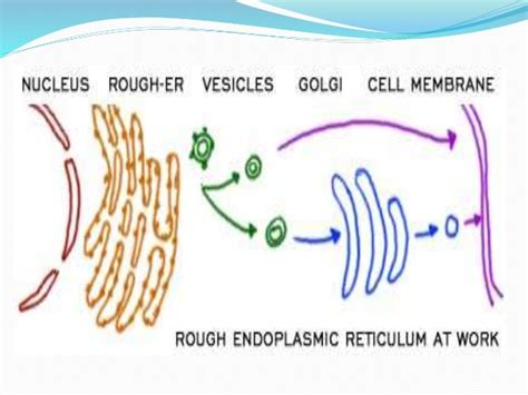 Smooth Endoplasmic Carcinogenic Detox by Endoplasmic Reticulum
