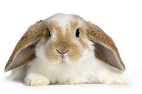 Sisir Untuk Kelinci resep pupuk cair urine kelinci untuk tanaman bebeja