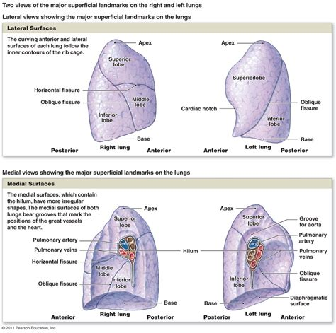 landmarks diagram anatomy organ pictures images colection lung lobes