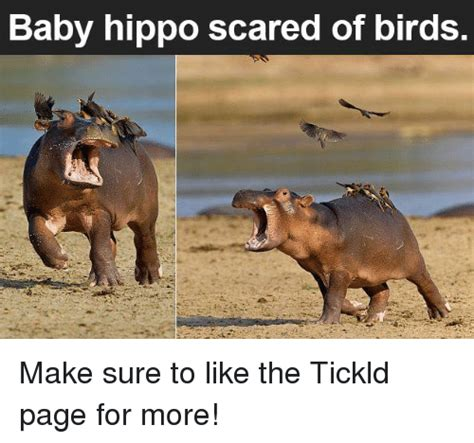Baby Hippo Meme - funny hippoed memes of 2017 on sizzle topped