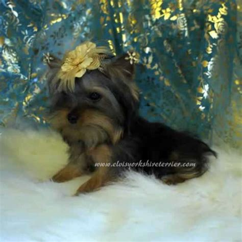 teacup yorkies for sale in la miniature yorkie puppies for sale in louisiana breeds picture