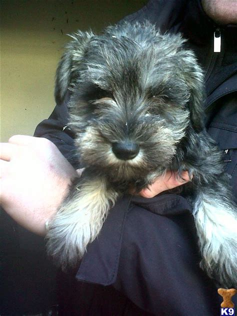 schnauzer doodle puppies for sale minature schnauzer 30796