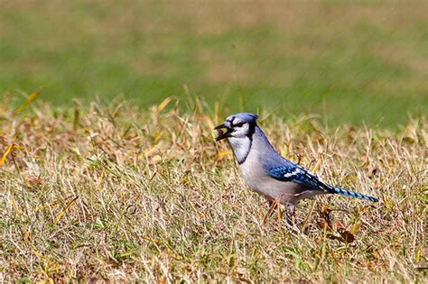blue jay eating acorn flickr photo sharing