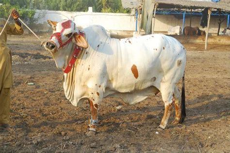 pakistani cow cows and bulls karachi really awsome cattles