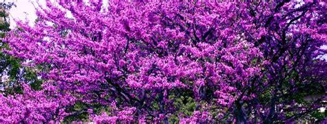 fiori albero di giuda accademia delle erbe spontanee