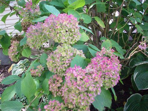flowering summer shrubs summer flower summer flowering bushes