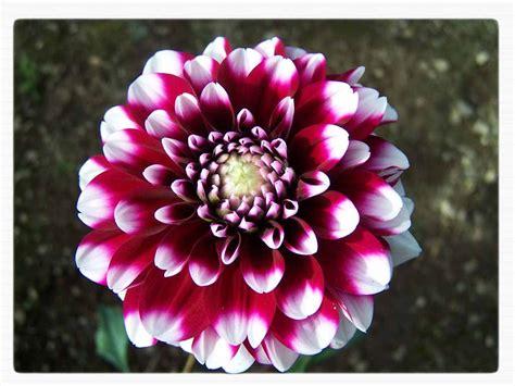 fiore autunnale fiori autunnali