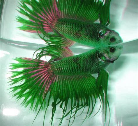 47 Best Images About Beta 47 mejores im 225 genes de betta en betta peceras y hermoso pez