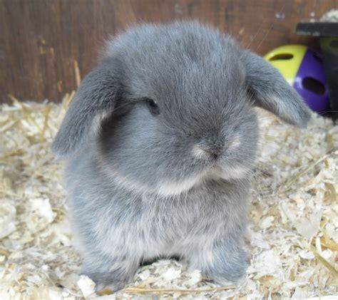 gorgeous mini lop rabbits bury st edmunds suffolk pets4homes