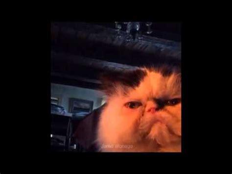 Diabetes Cat Meme - diabetus cat vine youtube