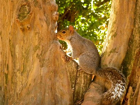 squirrel in williamsburg virginia flickr photo sharing