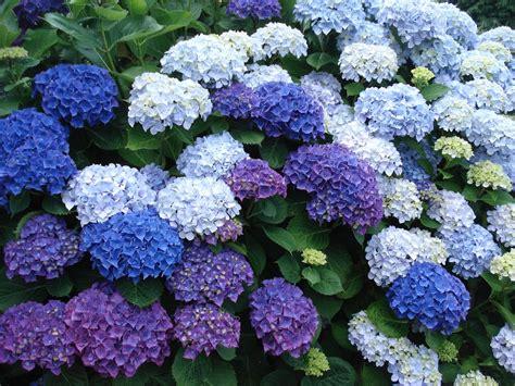 imagenes de jardines con hortensias las hortensias y la mala suerte