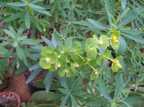 file euphorbia plant jpg