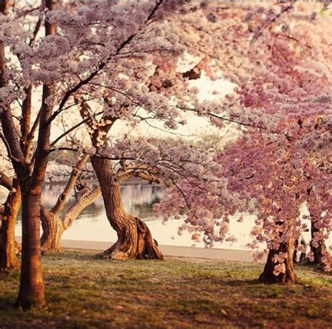 cherry trees b b shere 842 besten 1 flowering trees bilder auf bl 252 hende b 228 ume kirschbl 252 ten und kirschbaum
