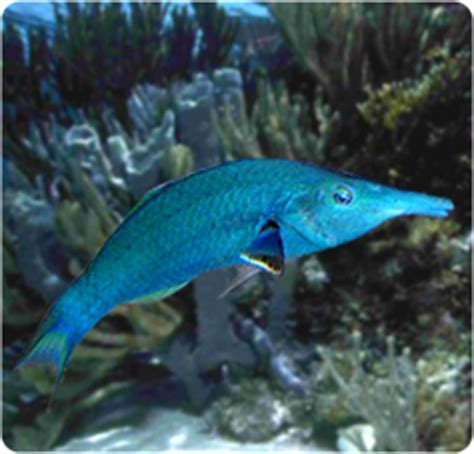 green bird wrasse green bird wrasse green bird wrasse gomphosus verius