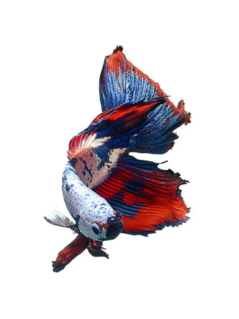 wallpaper iphone ikan iphone 6s announced with betta background live tropical fish
