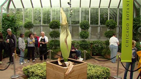 Another Corpse Flower To Bloom At Chicago Botanic Garden Chicago Botanic Garden Employment
