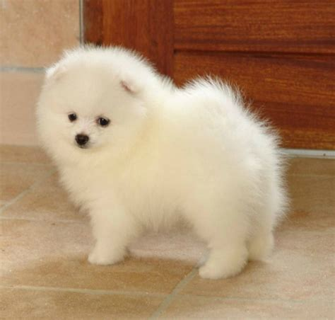 Do Japanese Spitz Shed by Bonnet Clo 233