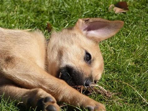 chinook puppies for sale chinook puppies in breeds picture