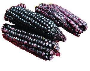 Bibit Jagung Ungu bibit bunga benih jagung ungu purple corn lazada indonesia