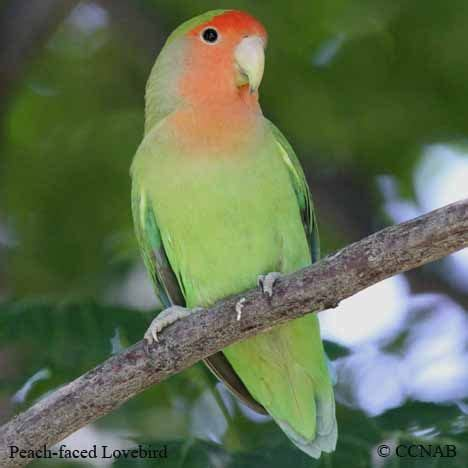birds of north america peach faced lovebird birds