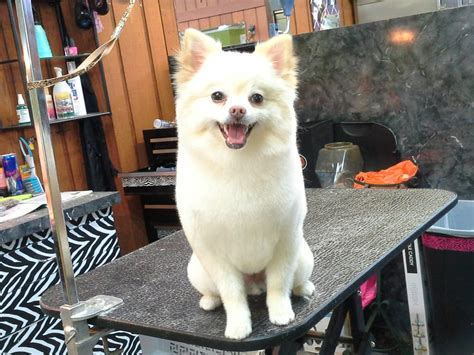 pomaradian french hair cut fluffy v the pomeranian clean and happy loving his
