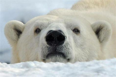 polar bear polar bear 0141383518 hey i see you too i m in love with the polar bear polar bear bears and