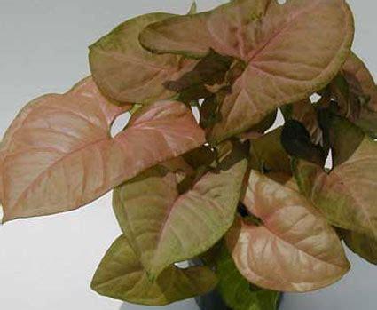 plants flowers syngonium podophyllum