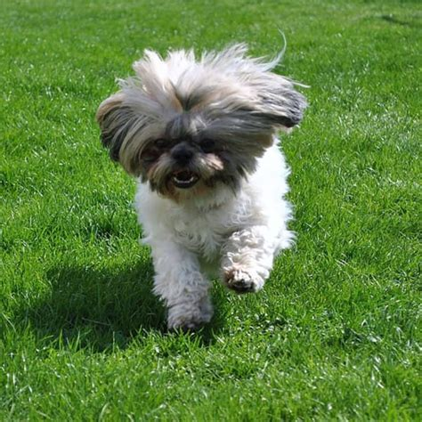 Shih Tzu Do They Shed by Hypoallergenic Dogs 28 Dogs That Dont Shed