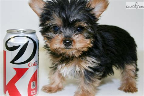 yorkie puppies for 200 or less meet tyson a terrier yorkie puppy for sale for 999 meet tyson our