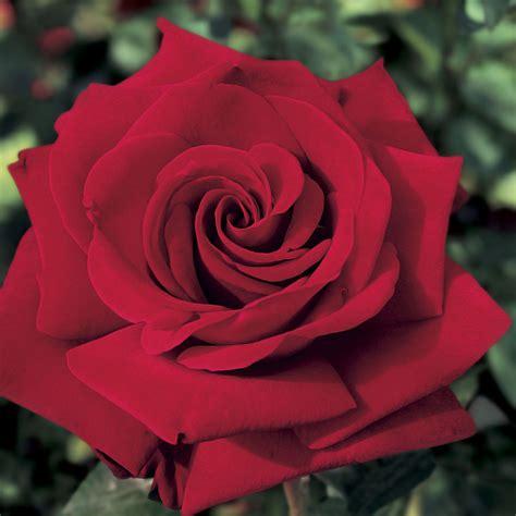Pics Of Roses