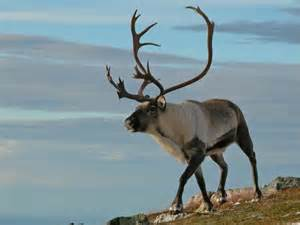 british scientists discover reindeer eyes change colour gold blue