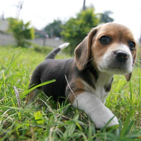 baby beagle puppies best 25 baby beagle ideas on beagle puppies pupies and beagle