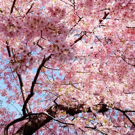 a cherry tree blossom japanese cherry blossom tree seeds prunus serrulata pink flower ebay
