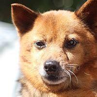 shiba inu puppies va manassas va shiba inu pomeranian mix meet sayuri a for adoption