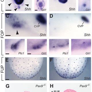 pigment pattern formation by contact dependent depolarization figure 1 expression patterns of pax9 in different taste