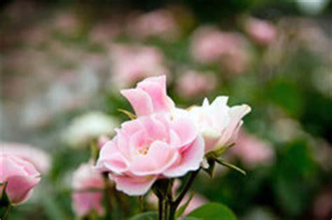 Welche Rosensorten Gibt Es 3544 by Heidetraum Wissenswertes 252 Ber Diese Bodendecker