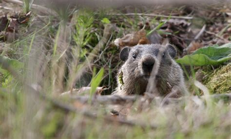 groundhog day plot why groundhog day is the most important of the year