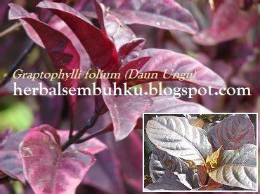 Obat Herbal Wasir Surabaya daun ungu surabaya 085755201000 jual daun ungu kapsul