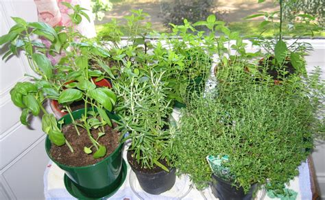 windowsill herb garden herbs cookalicious