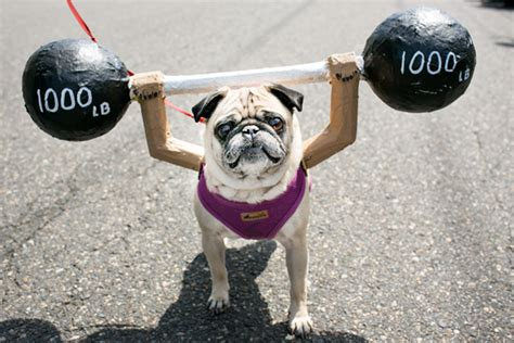 do pugs stay small top 10 friendliest dogs quirkybyte