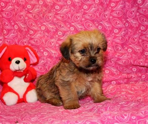 teacup yorkie puppies for sale in oregon shorkie puppy for sale shorkie puppies yorkie shih tzu mix and teacup